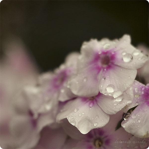 floksy deszcz_1