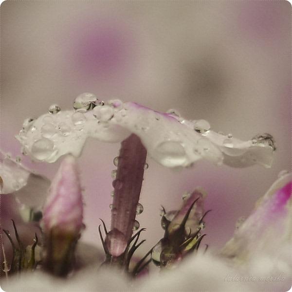 floksy deszcz_3