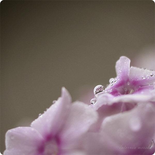 floksy deszcz_4